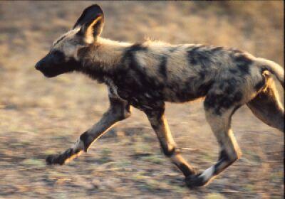 Painted dog, Afrikaanse Wilde Hond